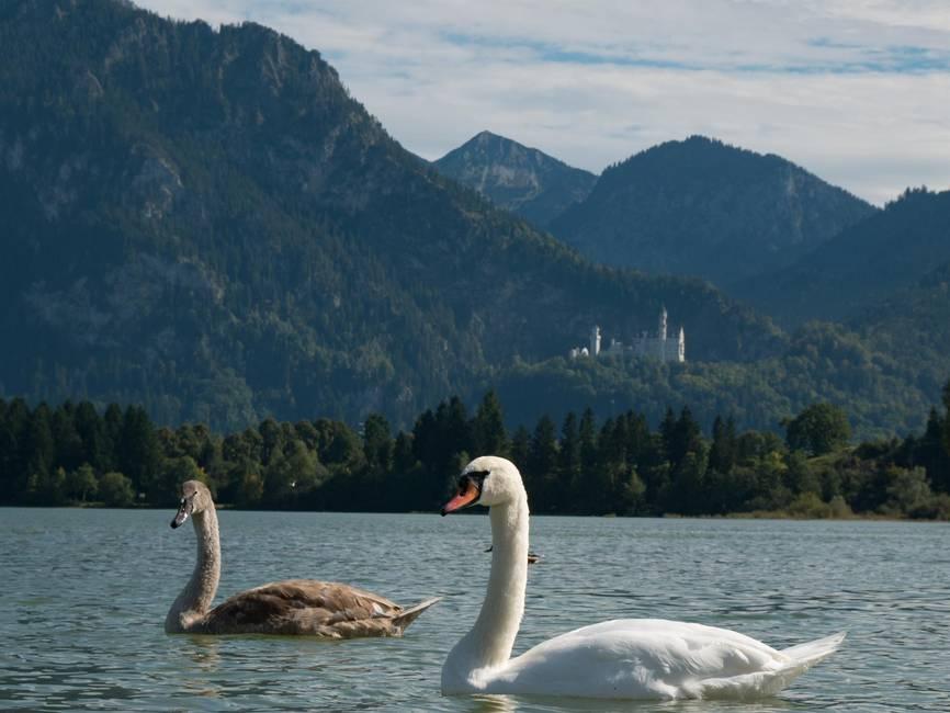 Der Schwan & Neuschwanstein