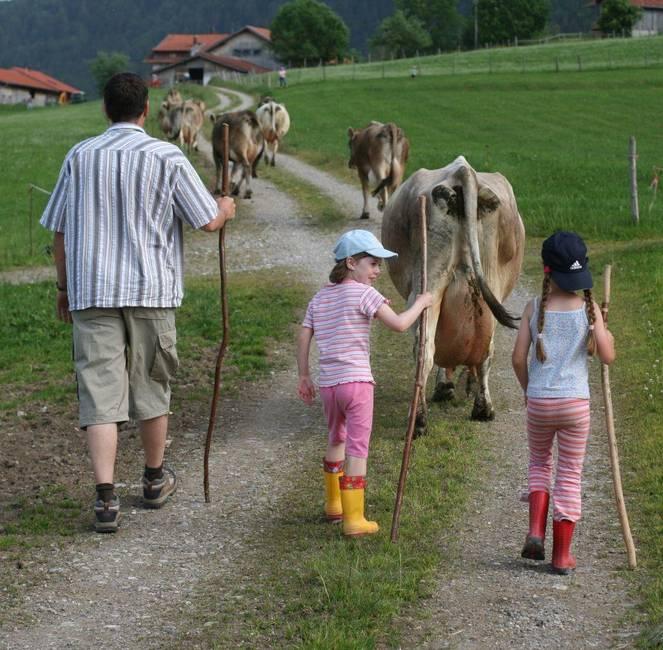 Kühe von der Weide holen.